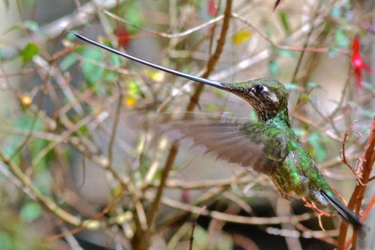 A sword-billed hummingbird can reach into much longer flowers than other species but requires more energy to carry and negotiate the ultra-long bill.