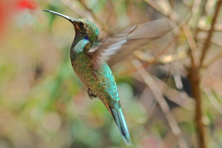 A juvenile sparkling violetear hovering.