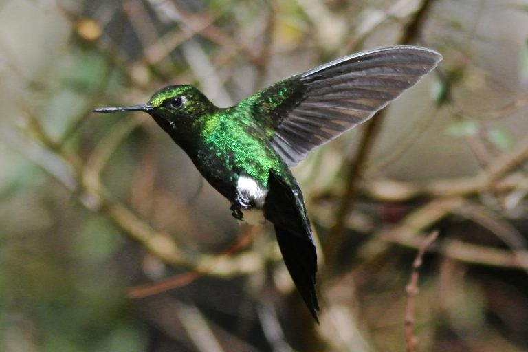 A male glowing puffleg in Colombia captured mid-flight.