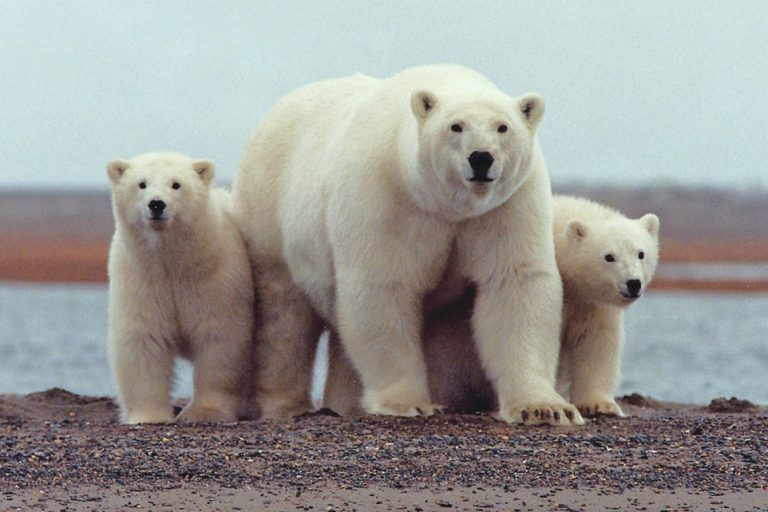 A polar bear keeps close to her young along the Beaufort Sea coast in Arctic National Wildlife Refug