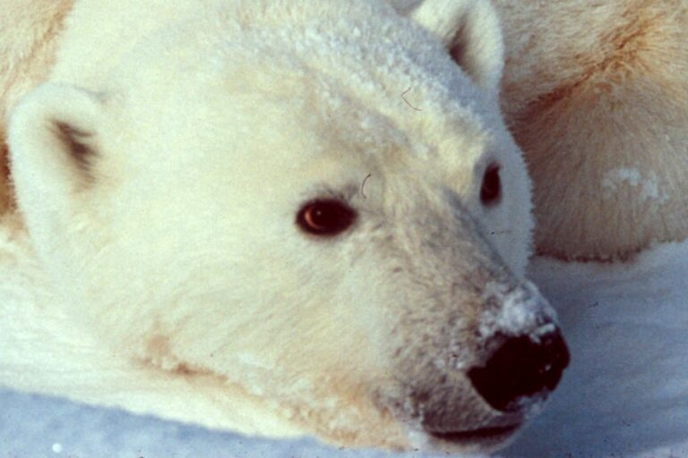 A bear lying down shows black in her muzzle