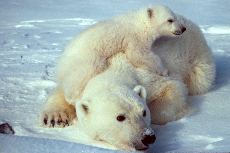 Polar bear with her cub.