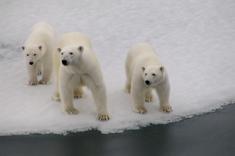 Female bear with cubs observe a visitor