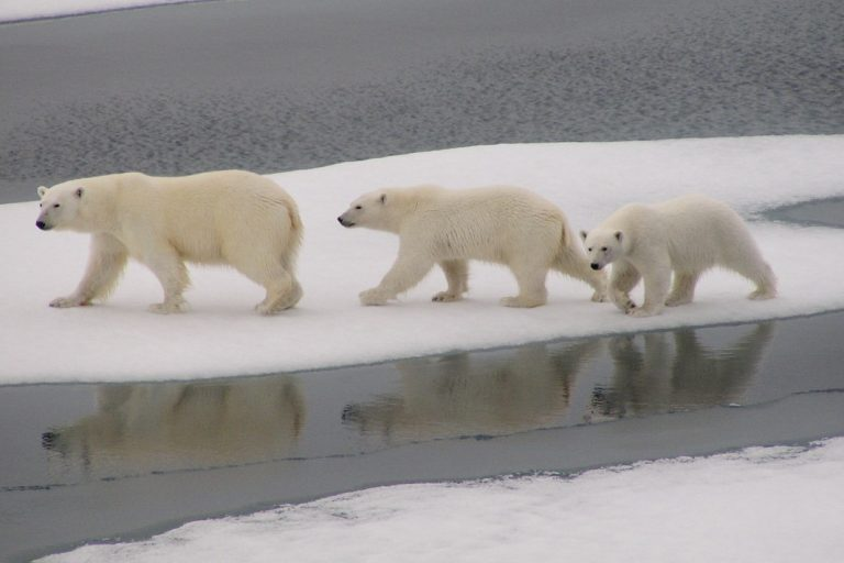 Polar bear mother and cubs cross the ice,