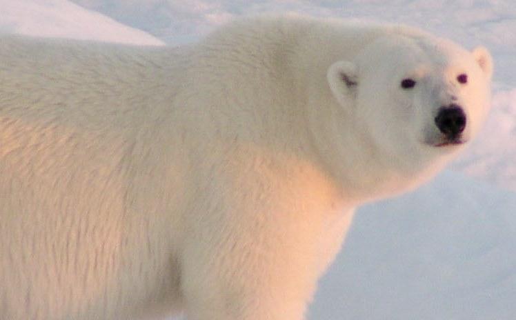 Male bear in Baffin Island, Canada