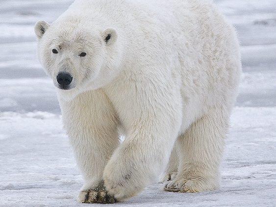 Bear walking in Alaska.