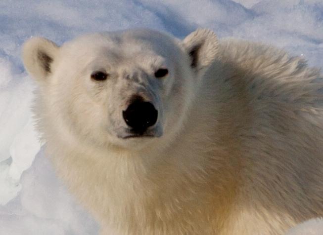 Female bear in Svalbard, Norway