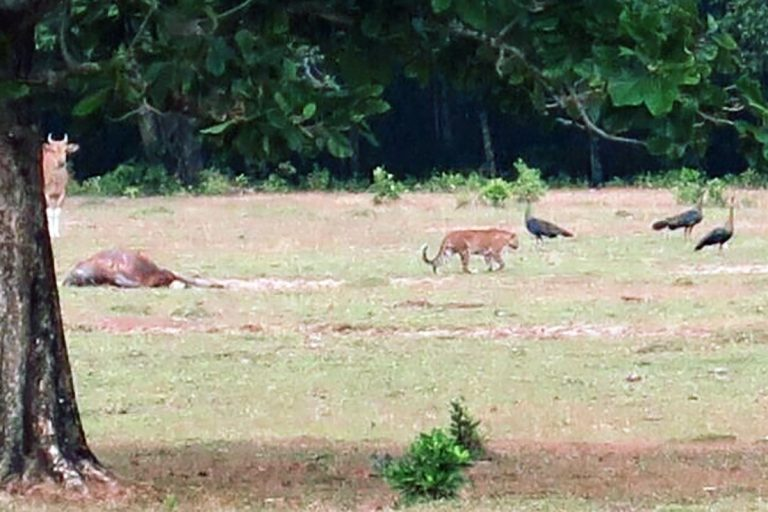 An unidentified big cat was photographed last month by a ranger from Ujung Kulon National Park. Officials claim the animal could be the Extinct Javan tiger. Photo courtesy of Ujung Kulon National Park.
