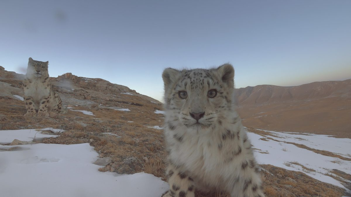 """Snow leopards (Panthera uncial) in the Sanjiangyuan region of China, a still from """"Ghost of the Mountains."""" Photo courtesy of Disneynature."""