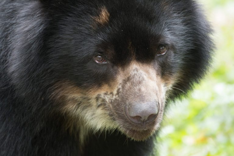 Photos: South America's adorable Andean bear