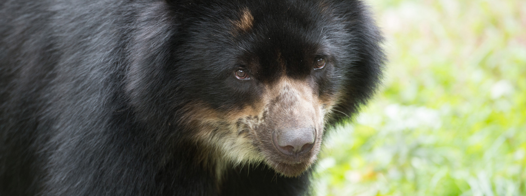 Photos: South America's adorable Andean bear