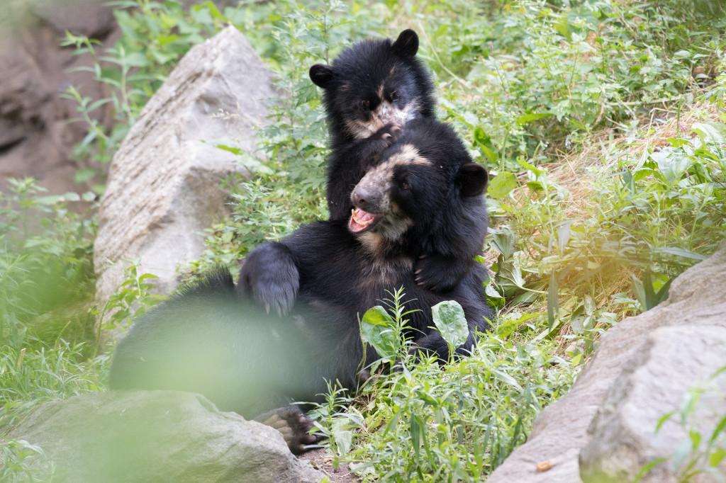 xJulie-Larsen-Maher_0144_Andean-Bear-and-Cub_QZ_06-28-17