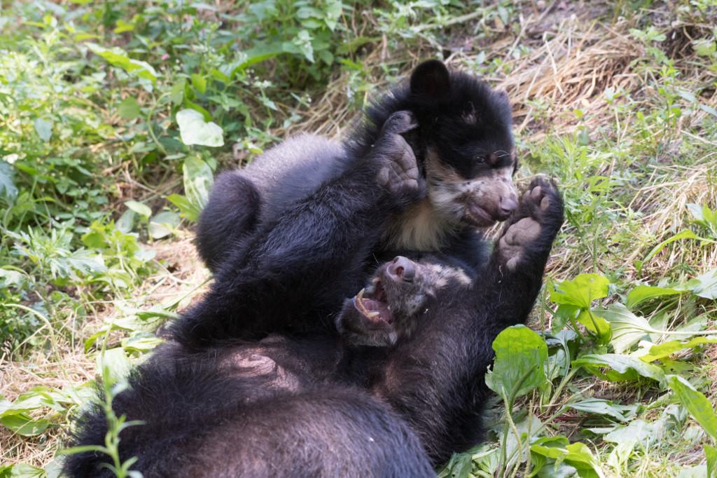 xJulie-Larsen-Maher_0202_Andean-Bear-and-Cub_QZ_06-28-17