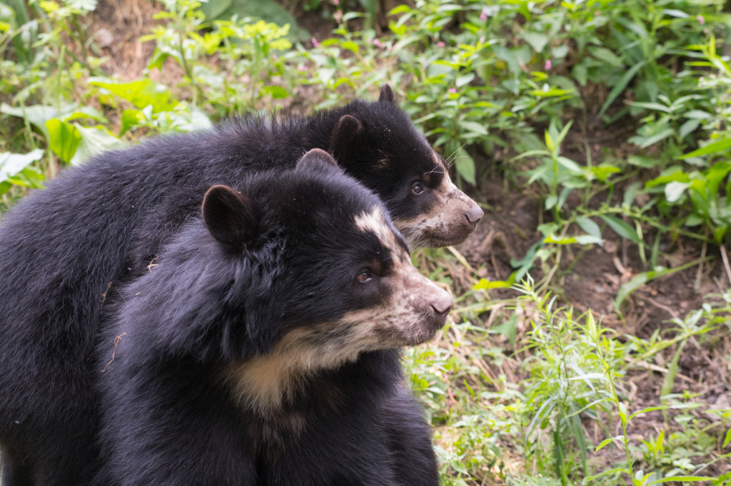 xJulie-Larsen-Maher_0287_Andean-Bear-and-Cub_QZ_06-28-17