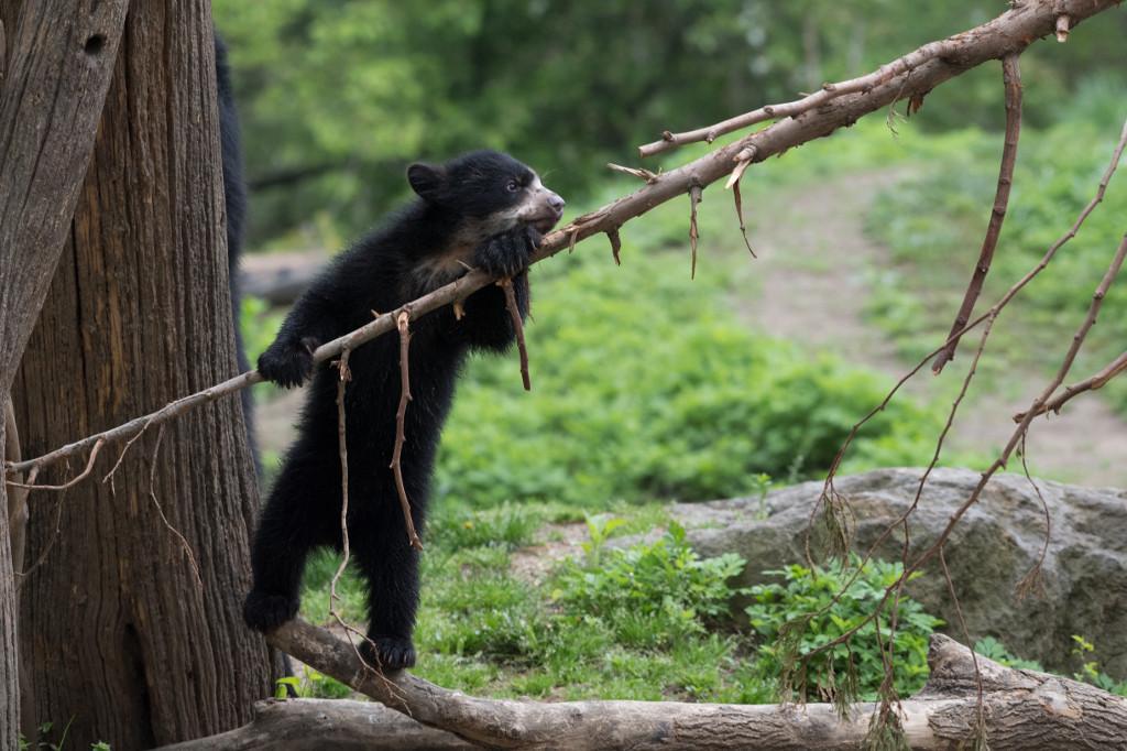 xJulie-Larsen-Maher_1260_Andean-Bear-and-Cub_QZ_05-01-17