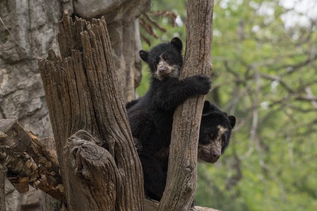 xJulie-Larsen-Maher_1598_Andean-Bear-and-Cub_QZ_05-01-17
