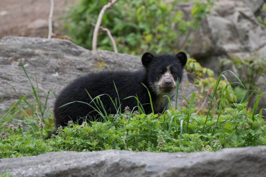 xJulie-Larsen-Maher_1661_Andean-Bear-and-Cub_QZ_05-01-17
