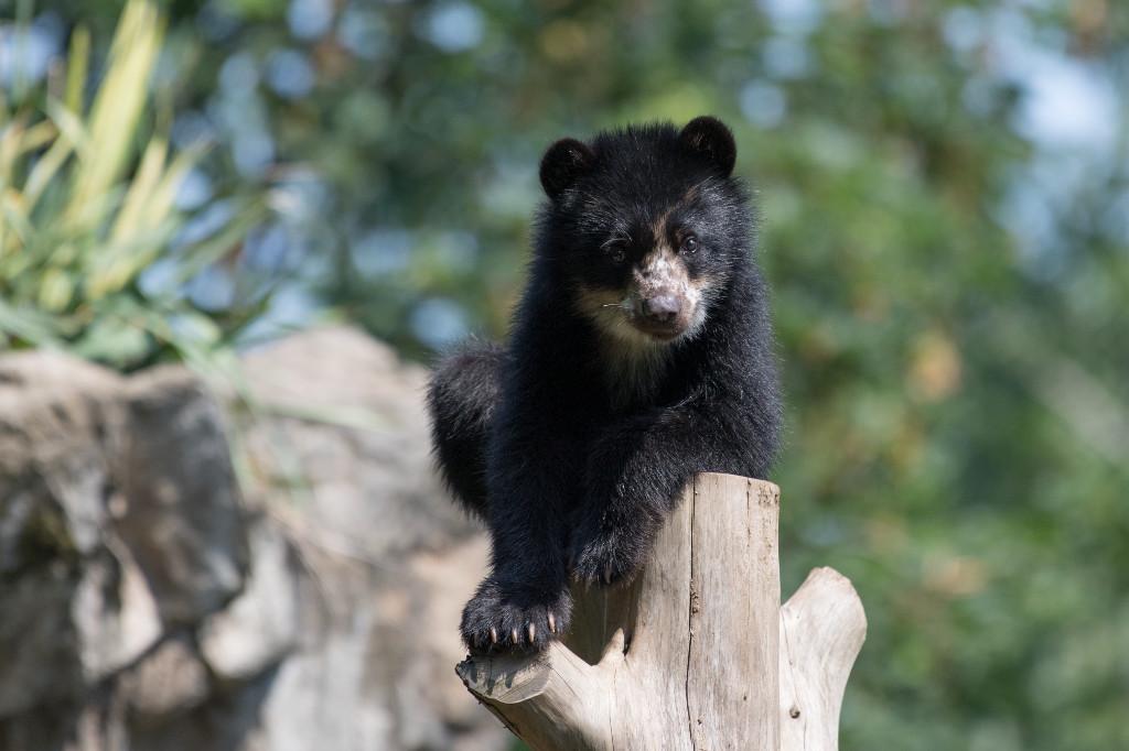 xJulie-Larsen-Maher_6274_Andean-Bear-and-Cub_QZ_06-14-17
