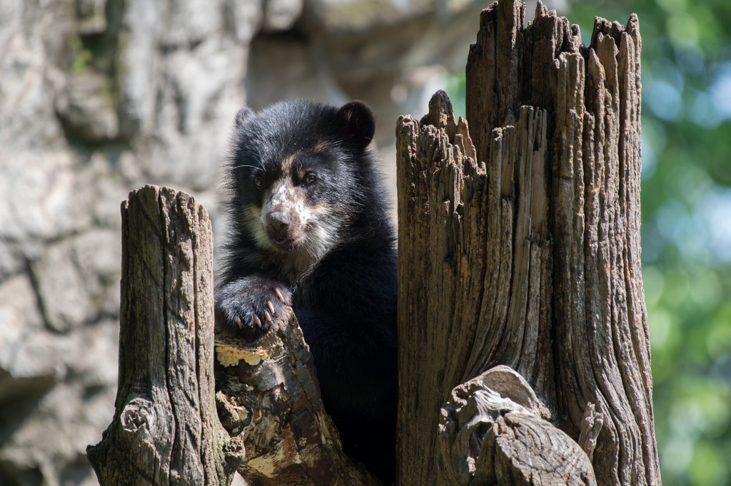 xJulie-Larsen-Maher_6325_Andean-Bear-and-Cub_QZ_06-14-17
