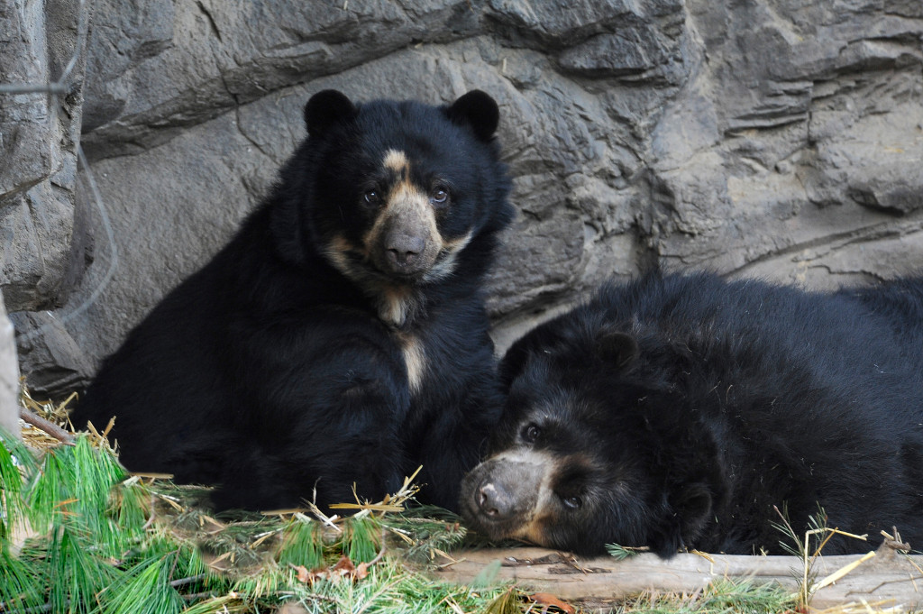 xJulie-Larsen-Maher_6681_Andean-Bears_QZ_12-12-12