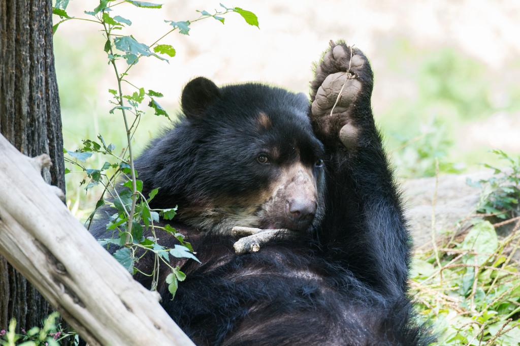 xJulie-Larsen-Maher_8721_Andean-Bear-Bouba_SAT_QZ_09-30-13
