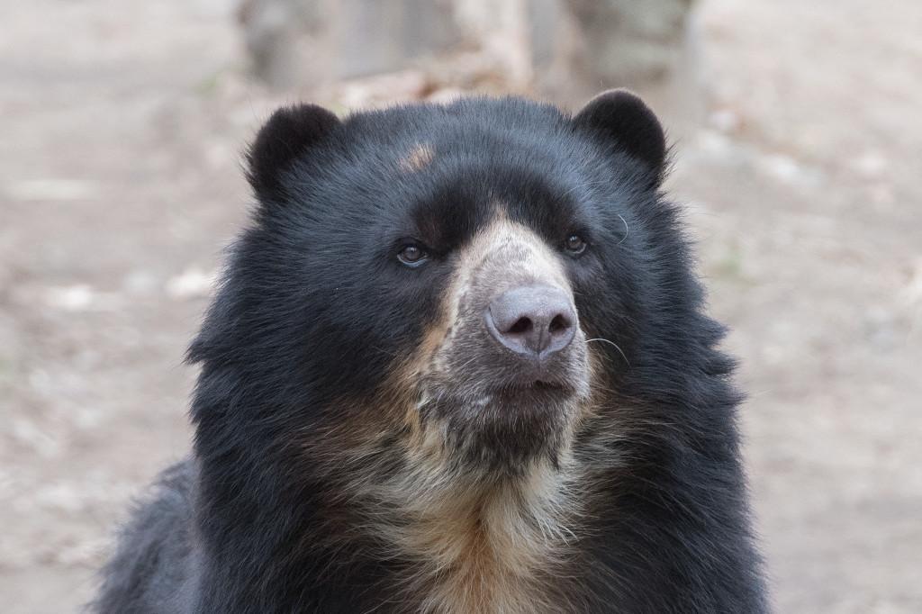 xJulie-Larsen-Maher_9020_Andean-Bear-Buba_QZ_12-22-16