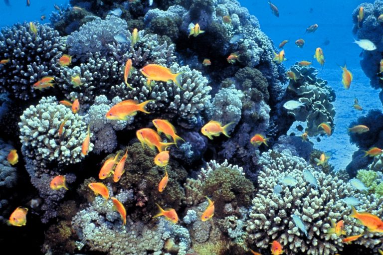 Corals and reef fish in the Gulf of Eilat in the Red Sea