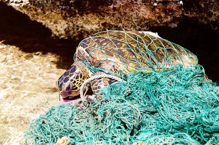 "A sea turtle entangled in a ""ghost net,"" abandoned fishing nets that drift with ocean currents and harm corals and larger marine species."