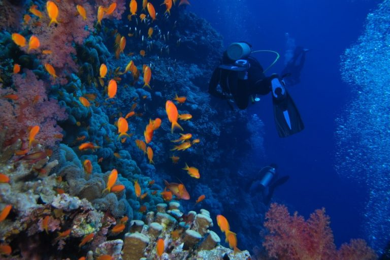 Divers have the unique opportunity to observe sea life underwater, such as these sea goldies (anthias) at Little Brother, Red Sea, Egypt.