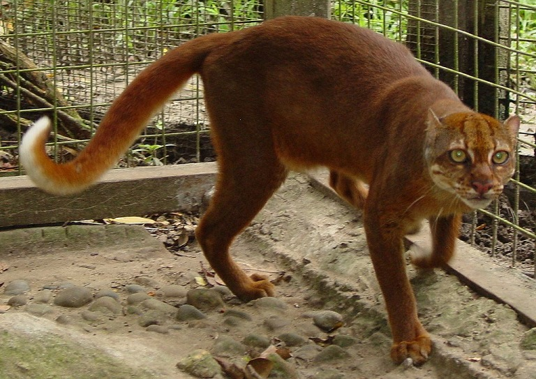 A Boreno bay cat in captivity in 2005. Jim Sanderson/Wikimedia Commons