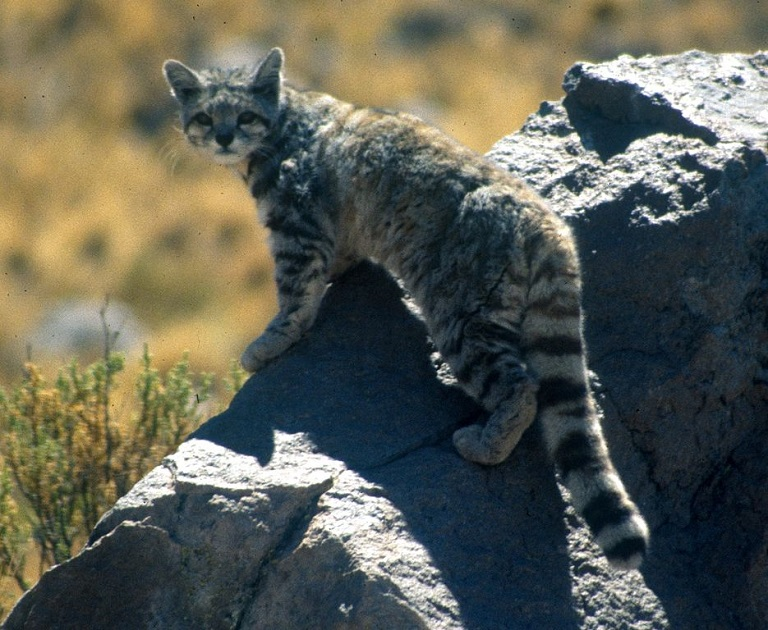 Andean Cat (Leopardus jacobita). Photo by Jim Sanderson/Wikimedia Commons