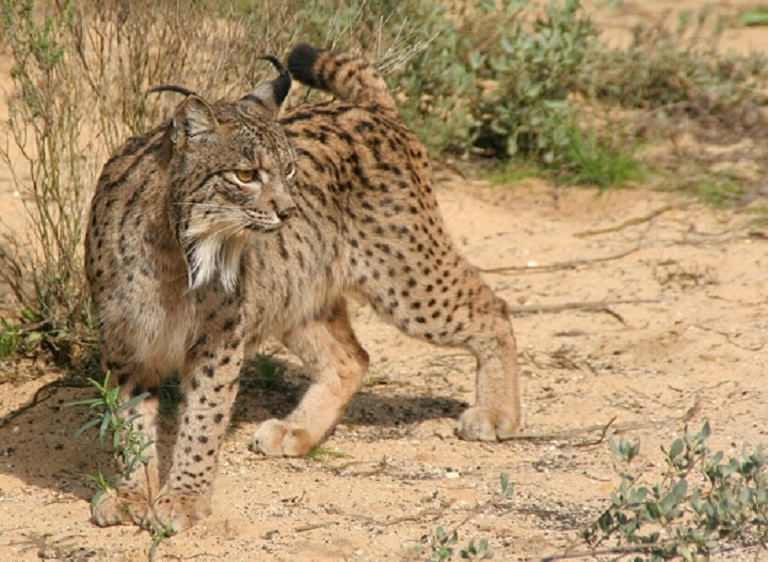 Iberian Lynx (Lynx pardinus). Photo via Ex-situ Conservation Program of the Iberian Lynx/Wikimedia Commons.
