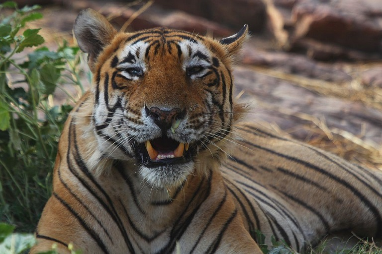 Tiger (Panthera tigris). Photo via Swapnil V. Bhende/Wikimedia Commons.