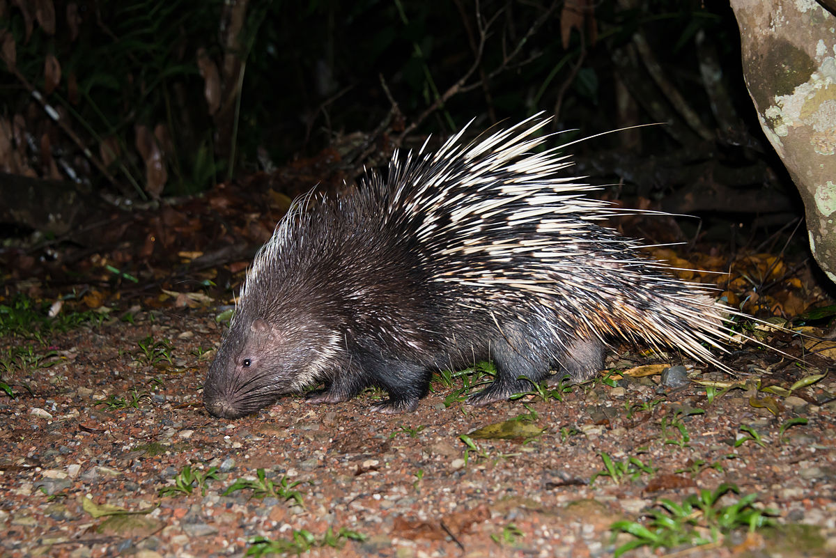 Study warns of impacts of unregulated trade in Indonesian porcupines