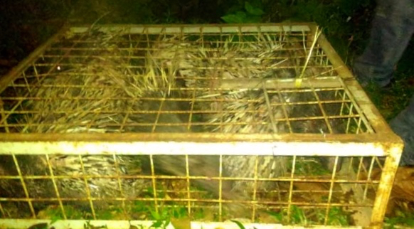 Conservation officers confiscated 40 live Malayan porcupines and freed all of them in a West Sumatran national park. Image courtesy of the Pasaman District Natural Resources Conservation Agency.