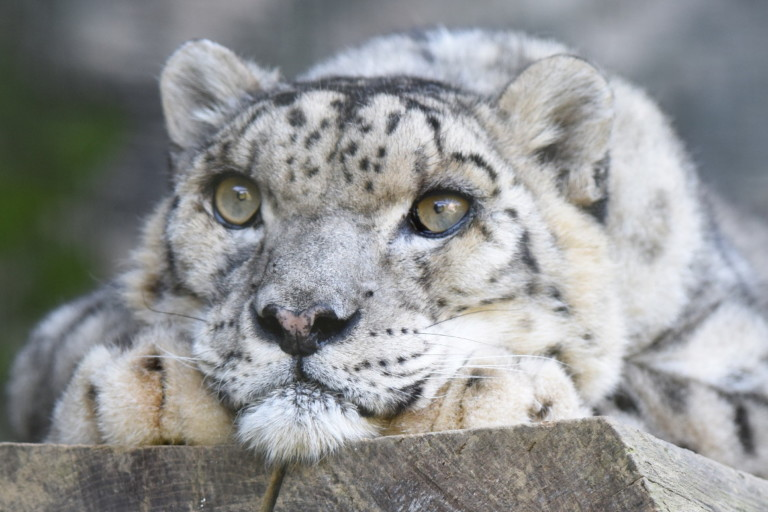 Snow leopards no longer 'endangered,' but still in decline and in need of urgent conservation measures