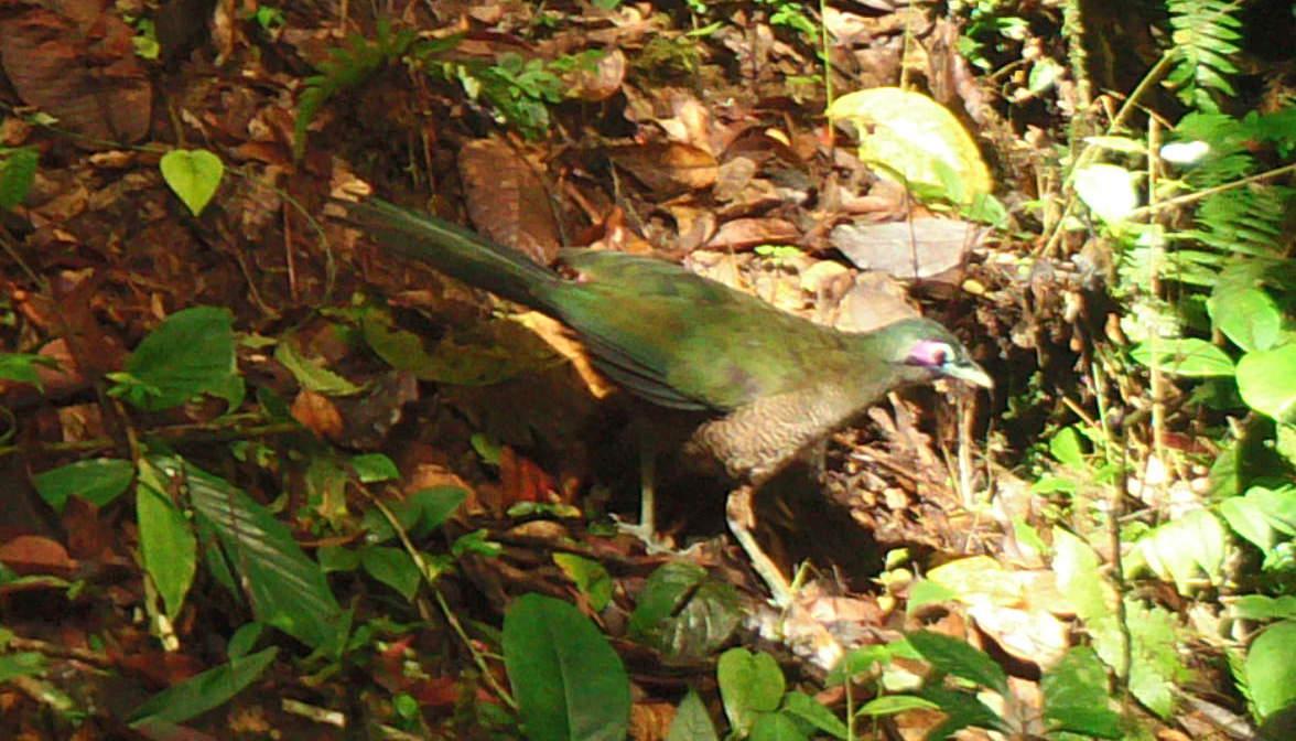 Camera trap records nearly extinct cuckoo in Sumatra