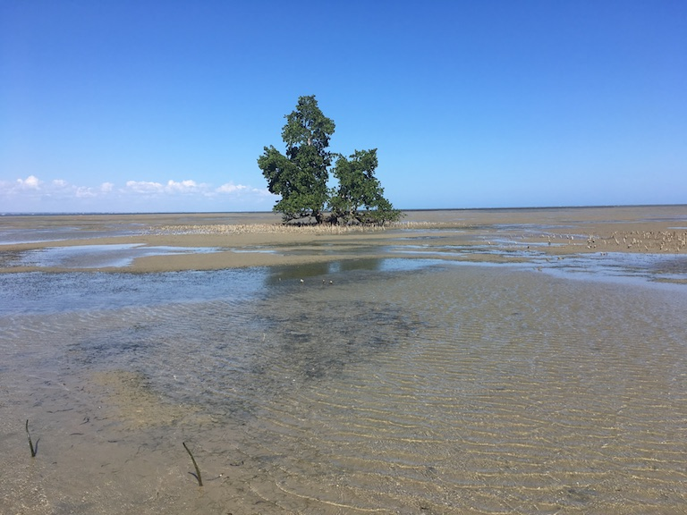 A lone old-growth mangrove remains at one end of a stripe of coastal forest that once covered more than 10 miles in southwestern Madagascar. Photo by Rowan Moore Gerety for Mongabay.