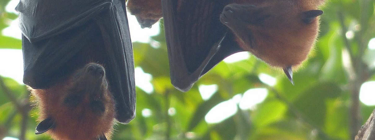 Bats key pollinators for durian production, camera traps confirm