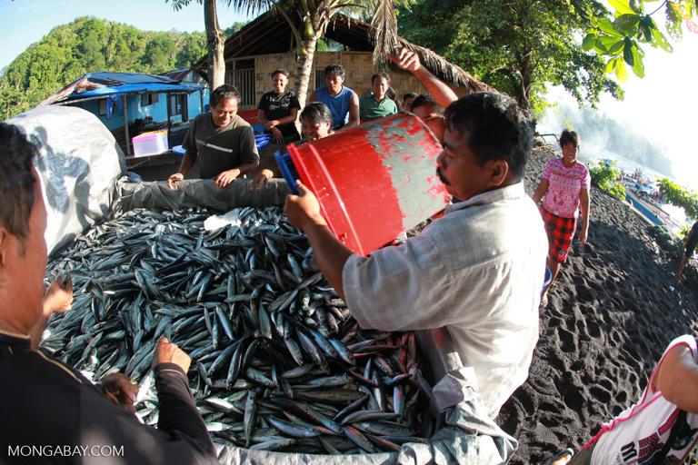 Carga de sardinas en un camión en Indonesia. Foto: Rhett A. Butler / Mongabay