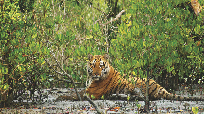 Biodiversity of tigers in asia