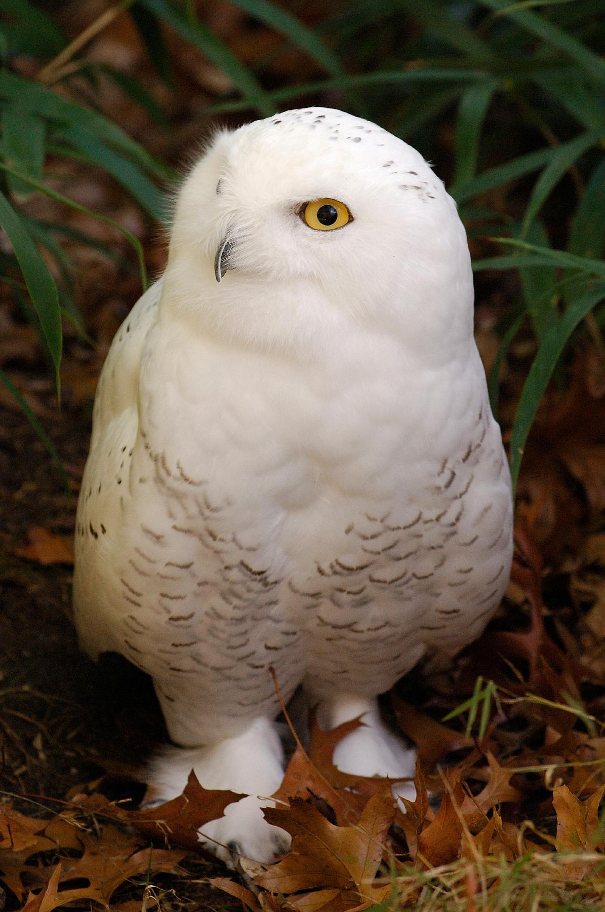 Julie-Larsen-Maher_0088_Snowy-Owl-in-Fall_11-17-05_hr
