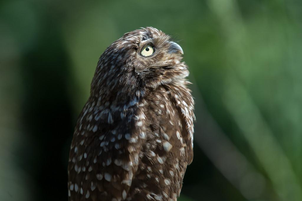 Julie-Larsen-Maher_0583_Burrowing-Owl-and-Owlet_QZ_06-27-16