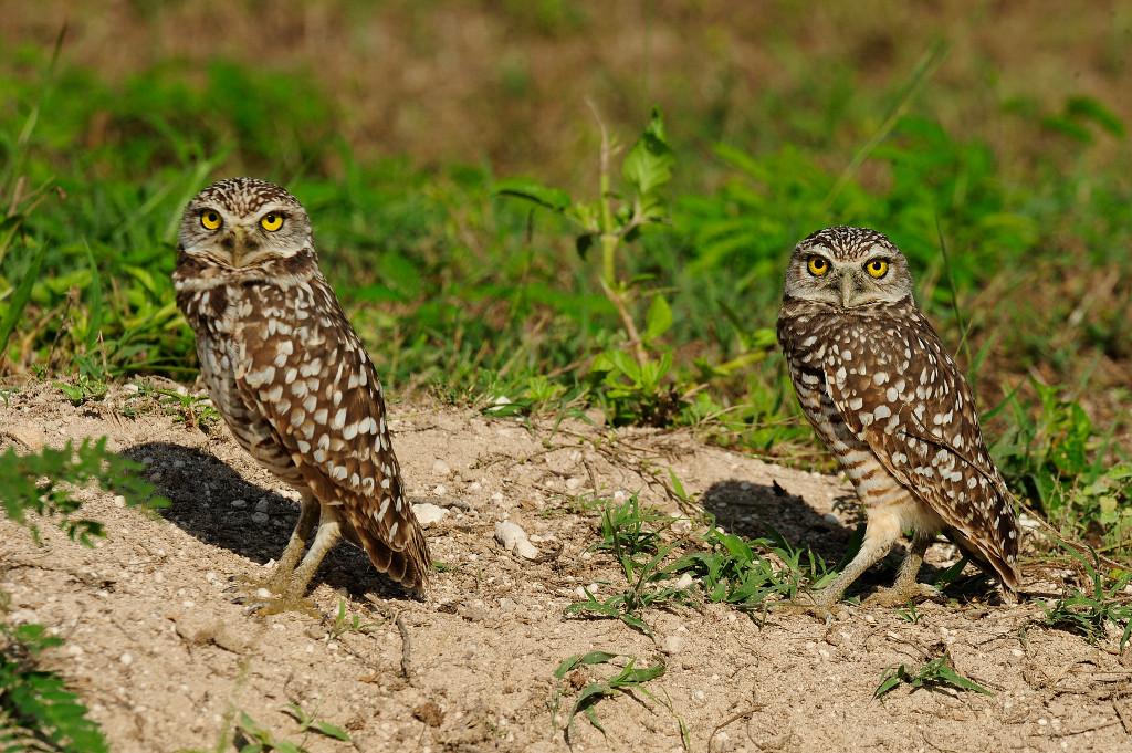 Julie-Larsen-Maher_1731_Burrowing-Owls-in-wild_BAH_12-06-09