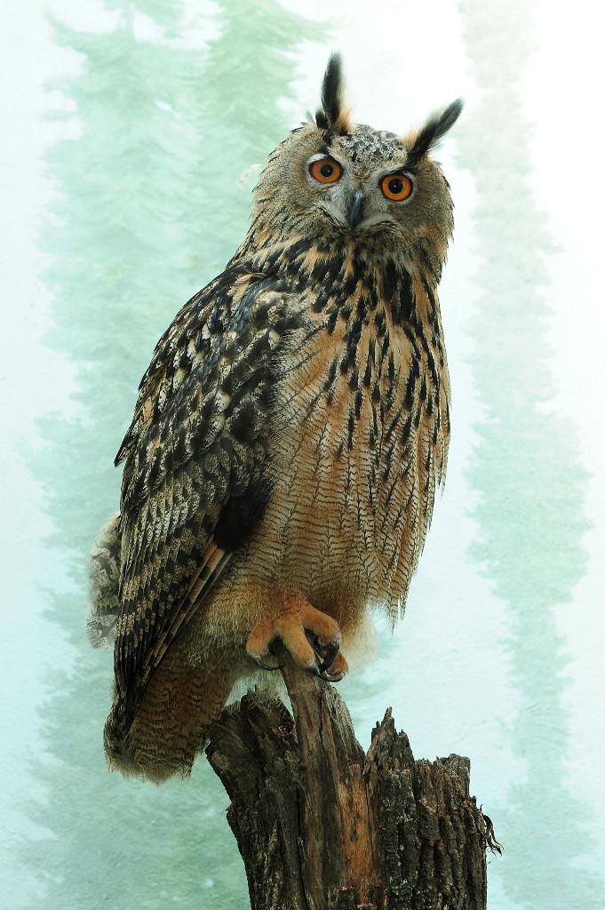 Julie-Larsen-Maher_2211_Eurasian-Eagle-Owl_CPZ_06-10-10