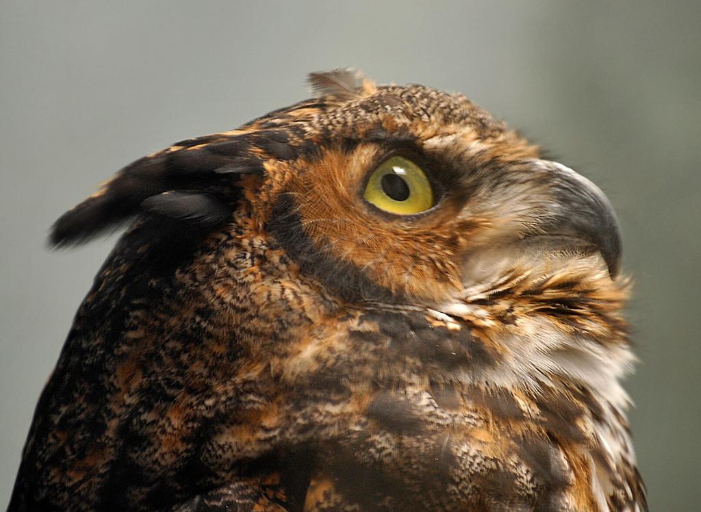 Julie-Larsen-Maher_2736_Great-Horned-Owl_PPZ_08-12-08
