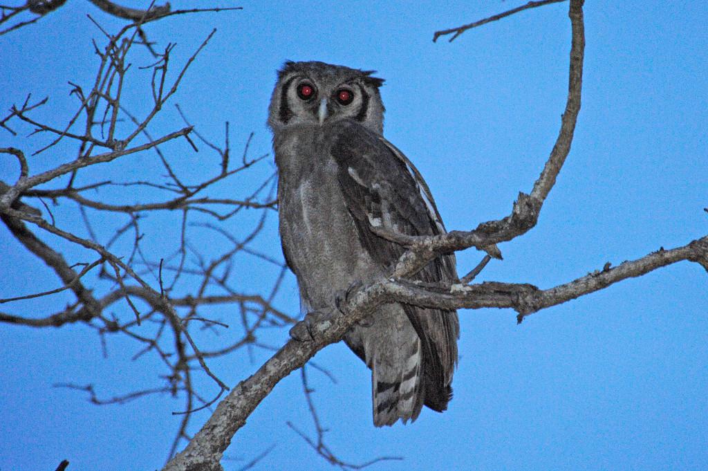 Julie-Larsen-Maher_2921_Verreauxs-Eagle-owl-in-wild_UGA_06-17-10
