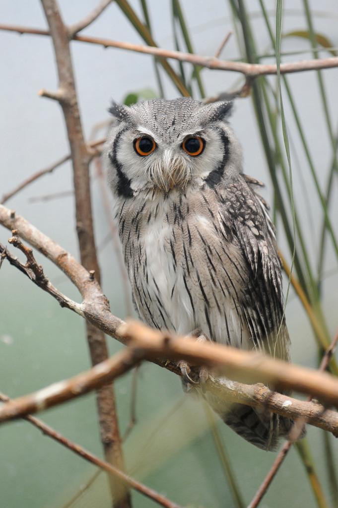 Julie-Larsen-Maher_4087_Southern-White-faced-Owl_07-21-11