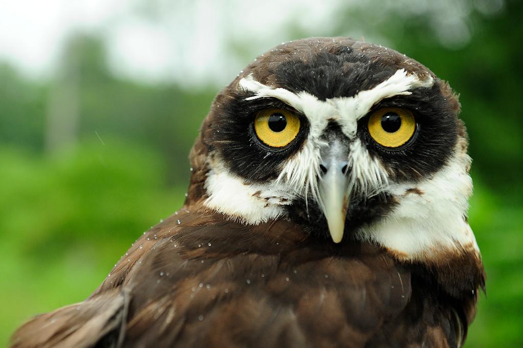 Julie-Larsen-Maher_5202_Spectacled-Owl-Natures-Air-Show_BZ_08-26-09