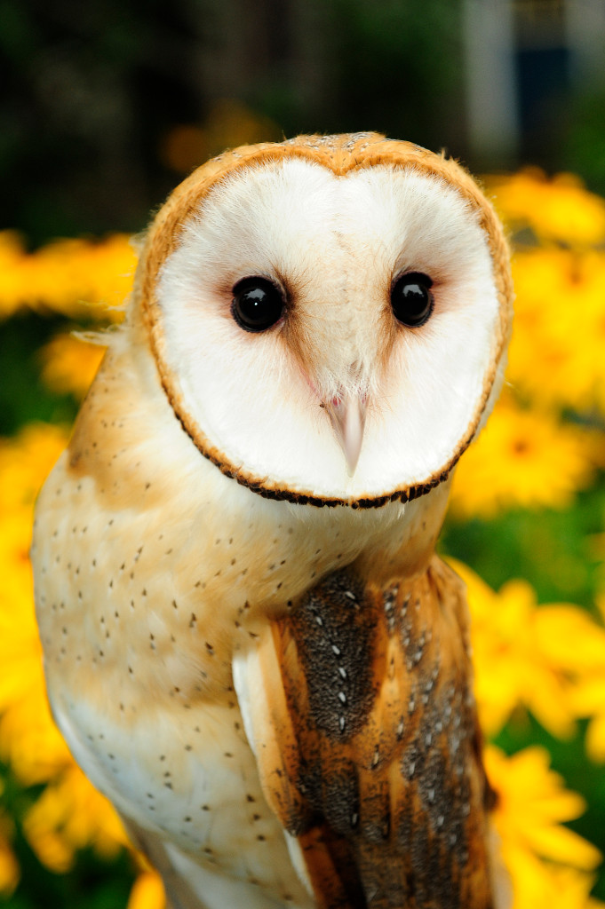 Julie-Larsen-Maher_5465_Barn-Owl-Natures-Air-Show_BZ_08-26-09